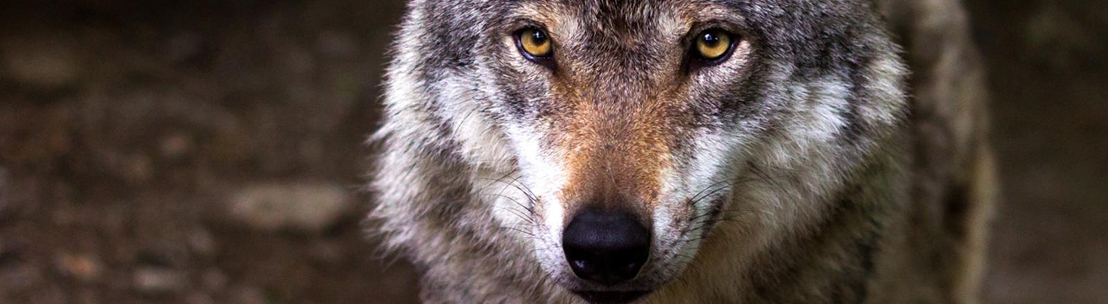 Ein Wolf im Wald.