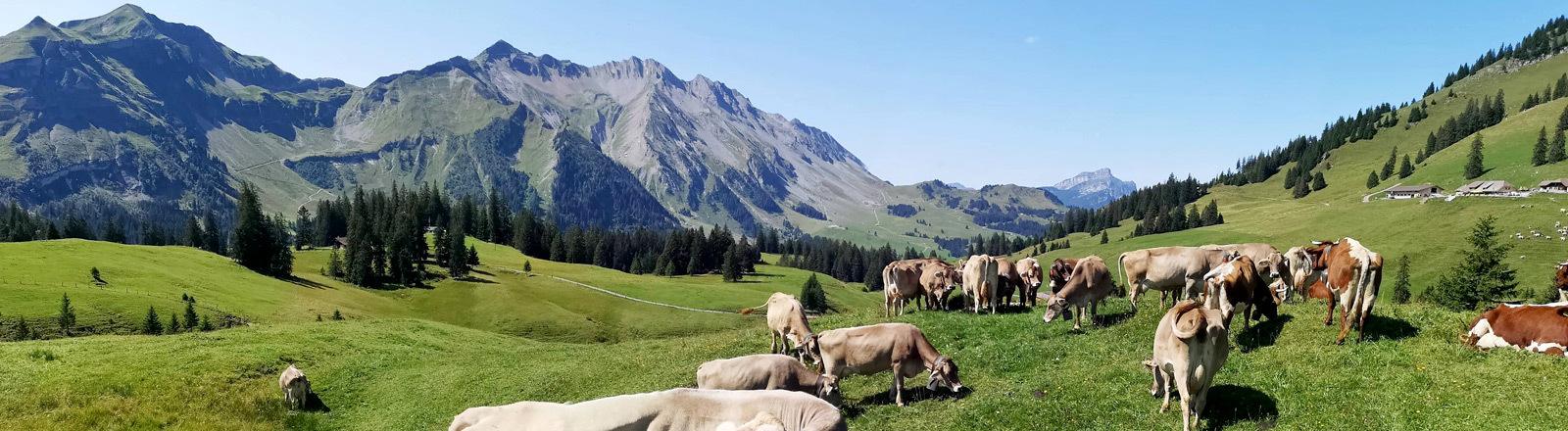 Braune Kühe in einer Berglandschaft in der Schweiz.