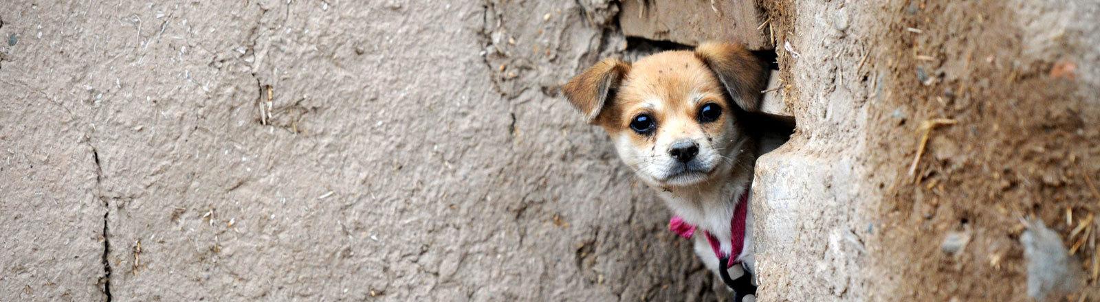 Ein Hund in  der historischen Stadt Yongtai am 30.06.2015 Bezirk Jingtai County, Provinz Gansu in China.