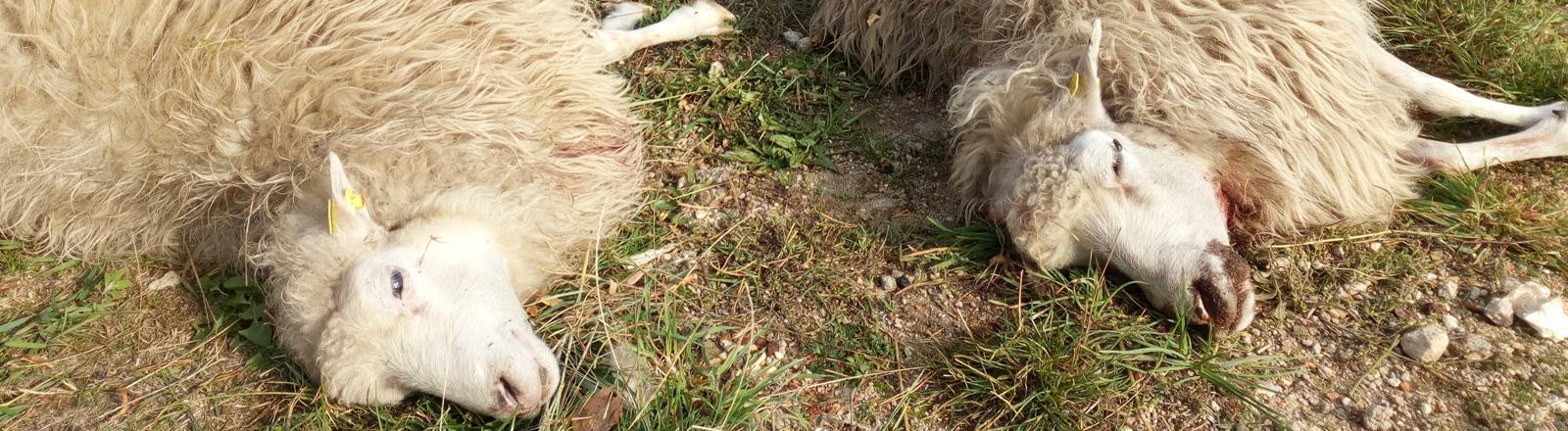 Tote Schafe nach Wolfsangriff im Ostsächsischen Dorf Förstgen.