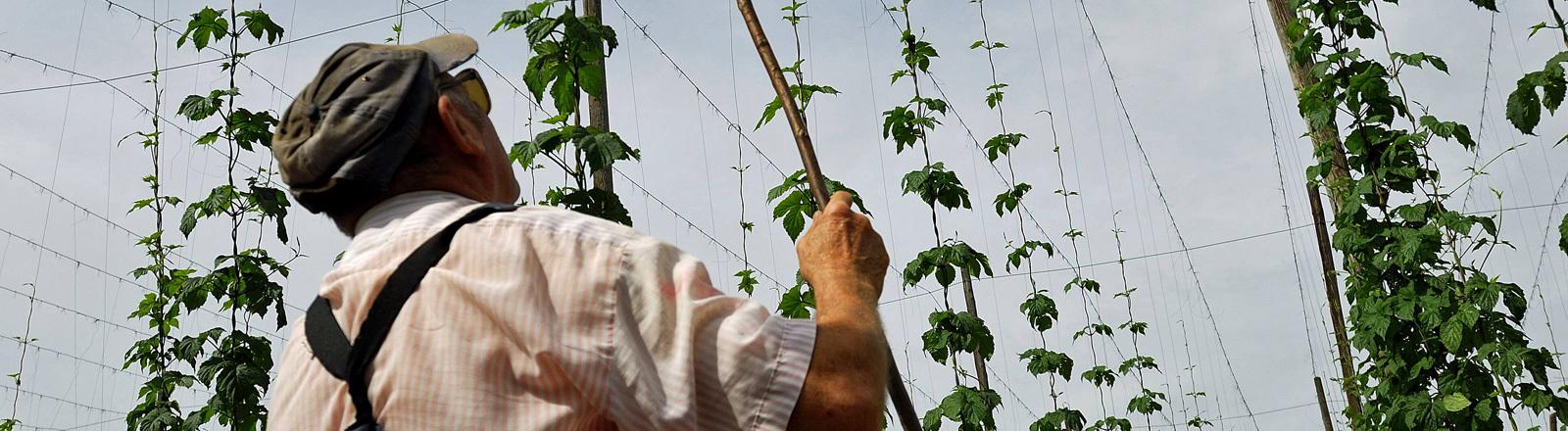 Ein Mann steht vor einer Hopfenplantage.