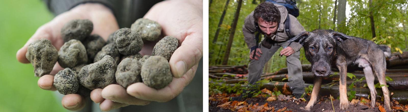 Collage: Ein Mann hält Trüffel in seinen Händen. Ein Trüffelhund mit seinem Besitzer.