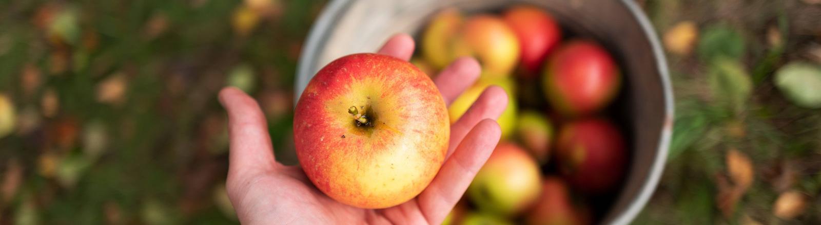 Ein Apfel wird in einer Hand gehalten. Im Hintergrund auf dem Boden steht ein Korb mit vielen Äpfeln. Es ist Herbst.