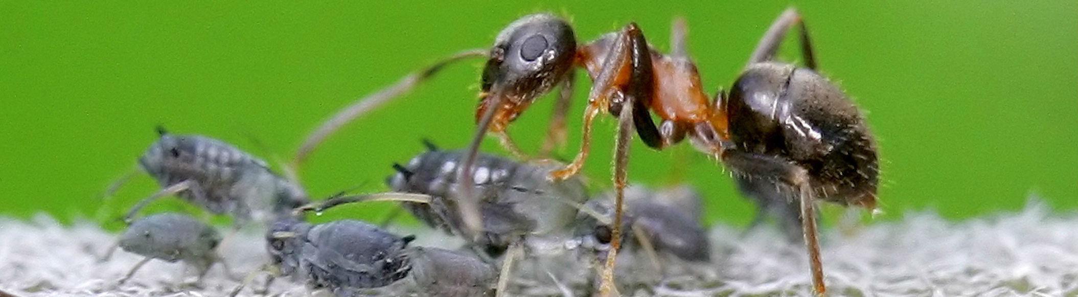 Ameisen sind die Hirten von Blattläusen.