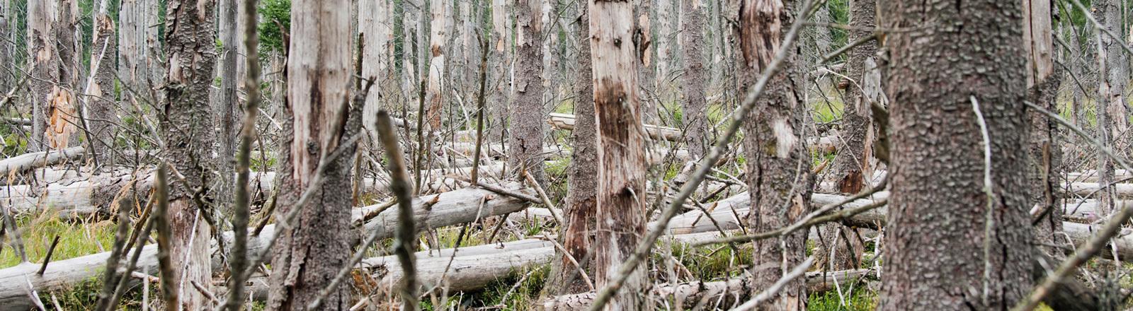 Umgeknickte und abgestorbene Fichten im Wald im Harz.