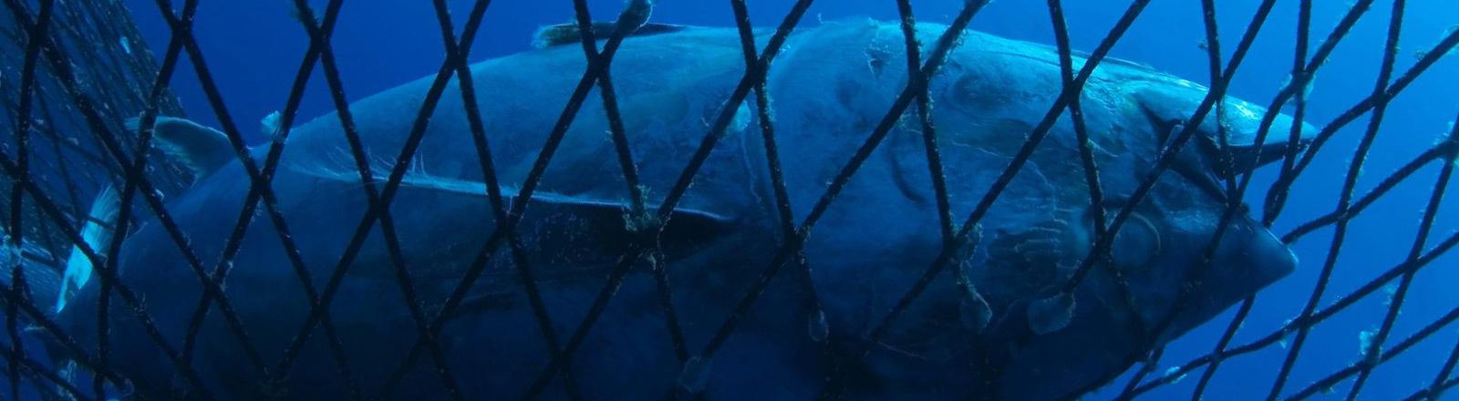 Ein Fisch im Netz.