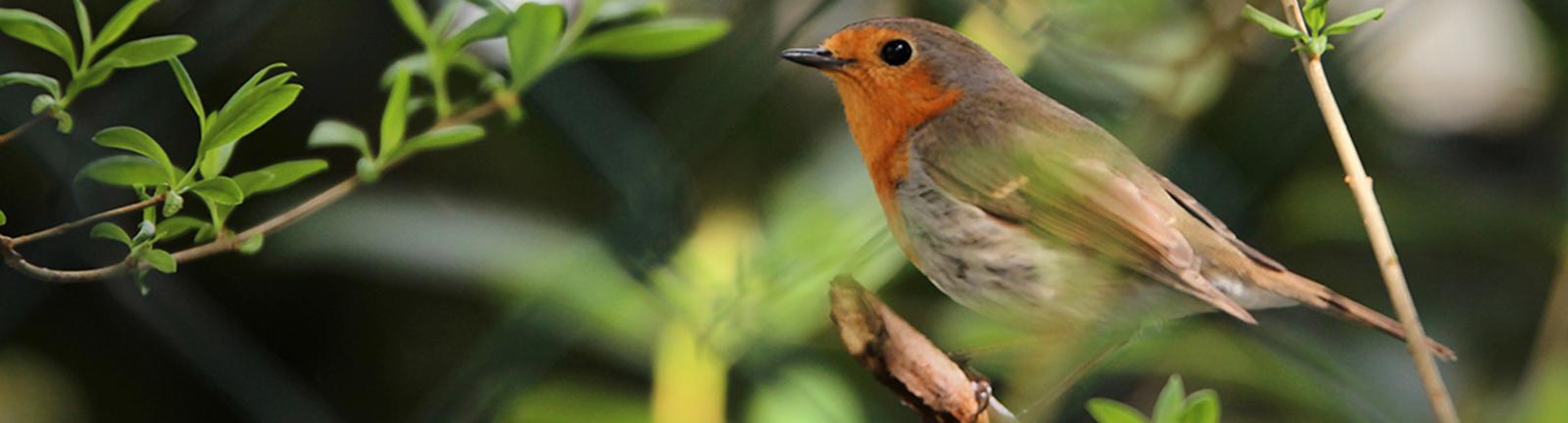Ein Rotkehlchen im Garten. Der Nabu ruft zur Vogelzählung auf.