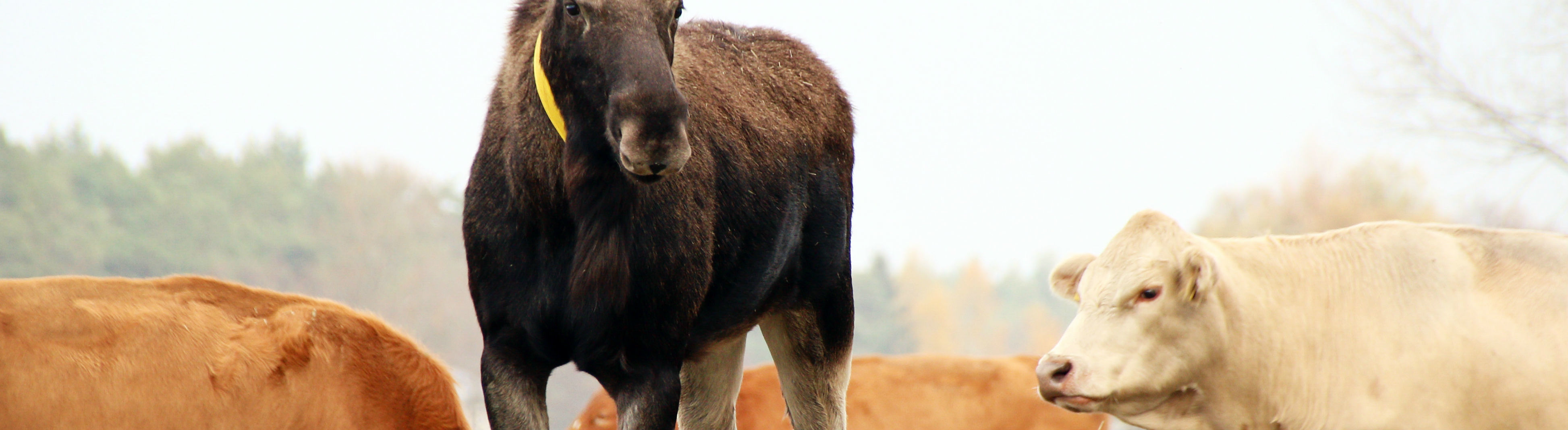 Ein Elch hat sich 2018 in Sachsen einer Kuhherde angeschlossen und offenbar können sie miteinander kommunizieren.