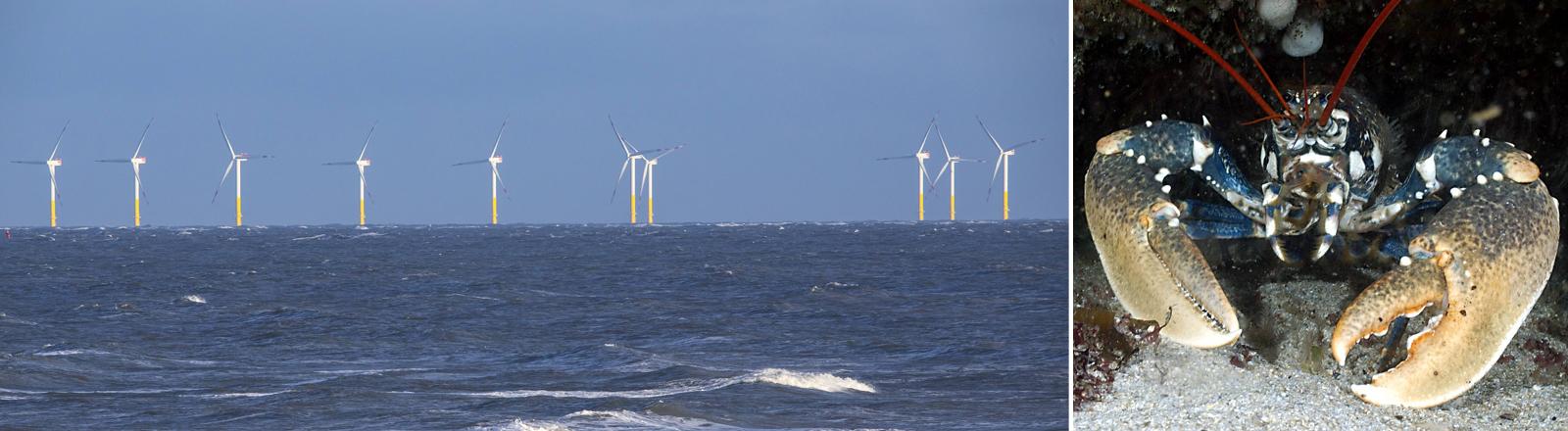 Eine Windkraftanlage in der Nordsee und ein Hummer.