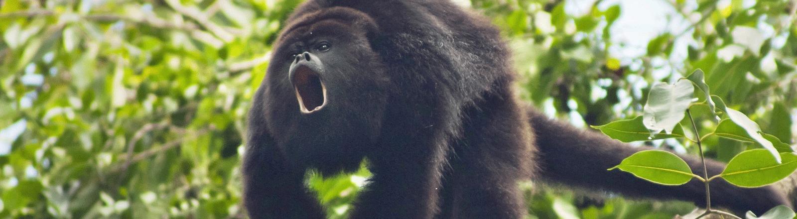 Ein Affe in einem Baum schreit laut. Symbolisch für tierische Kriegsgesänge.