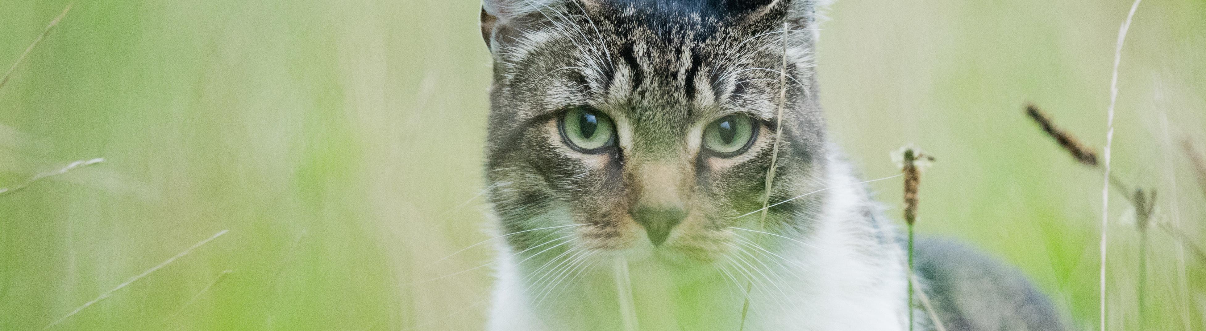 Eine Katze auf de Wiese