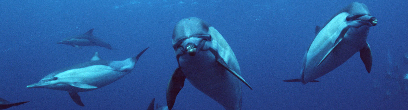 Mehrere Delfine schwimmen im Meer.