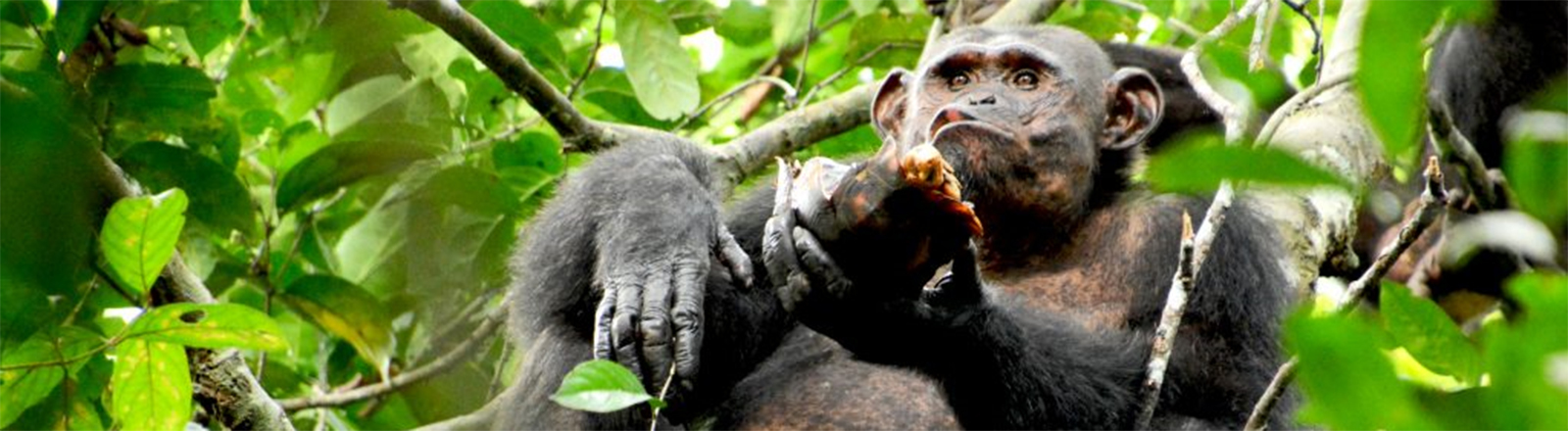 Schimpanse isst Schildkröte.