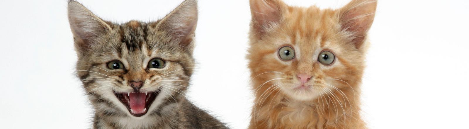 Zwei Katzenjunge.
