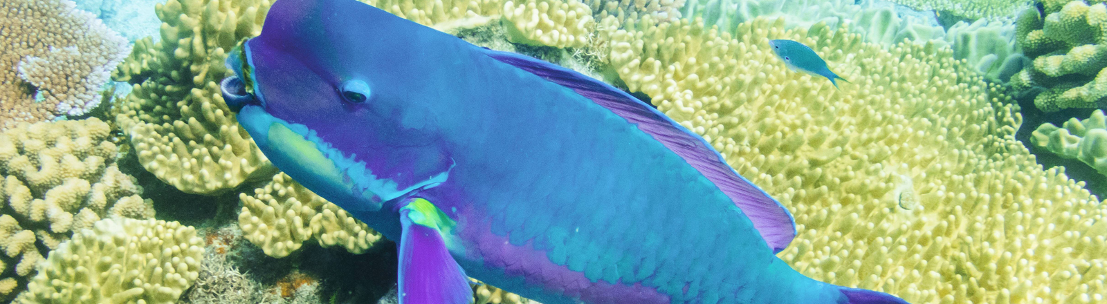 Papageifisch im Great Barrier Reef
