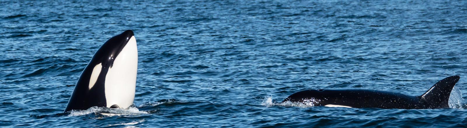Orcas im Meer.