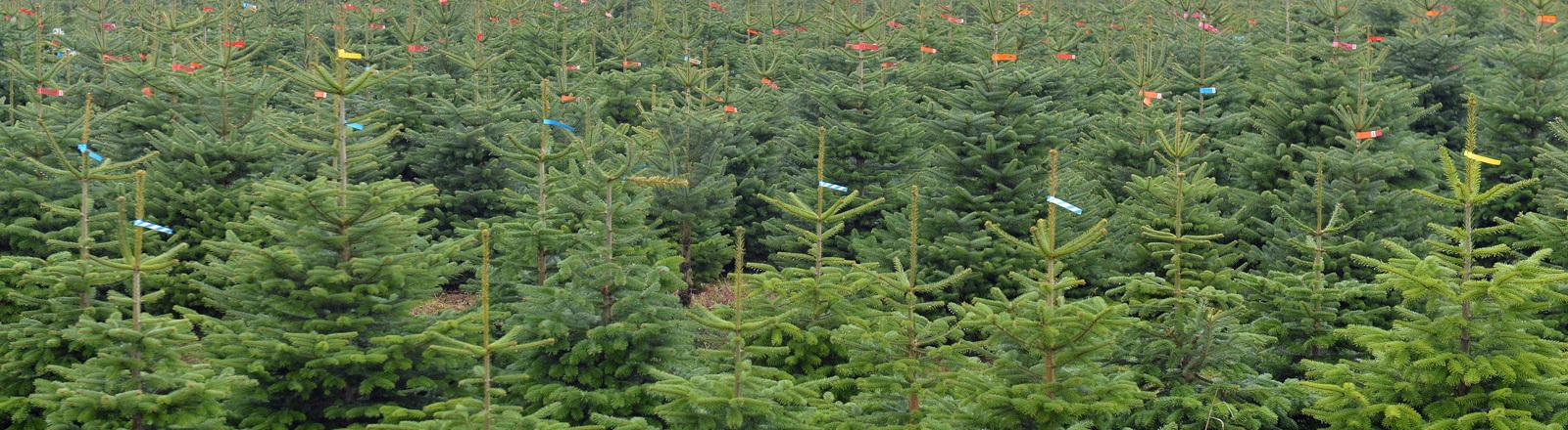 Plantage aus Weihnachtsbäumen – Nordmanntannen.