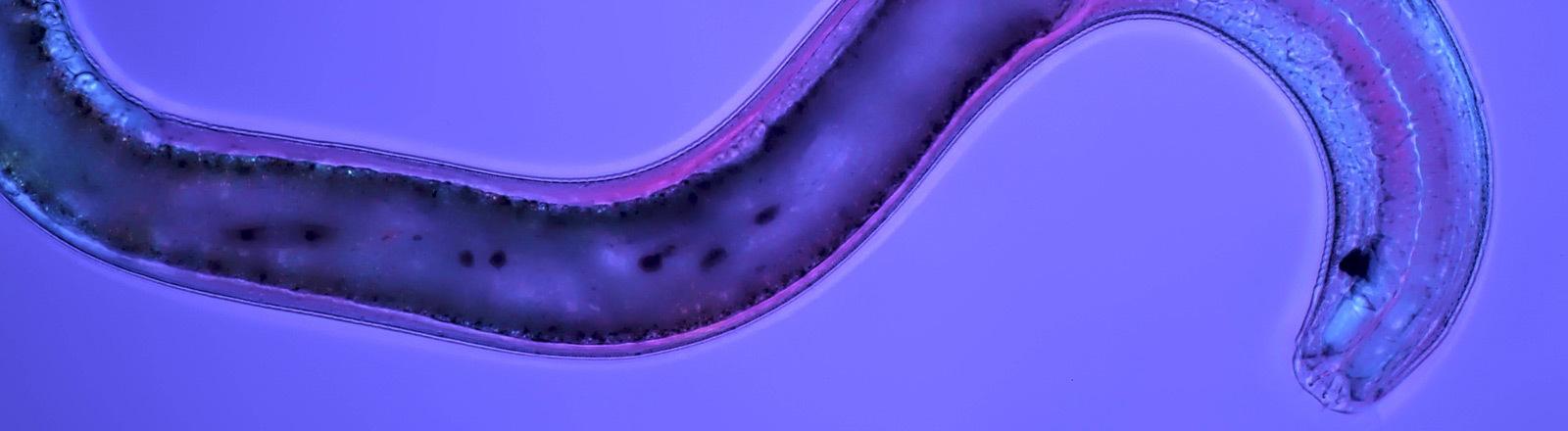 Fadenwurm, Nematode