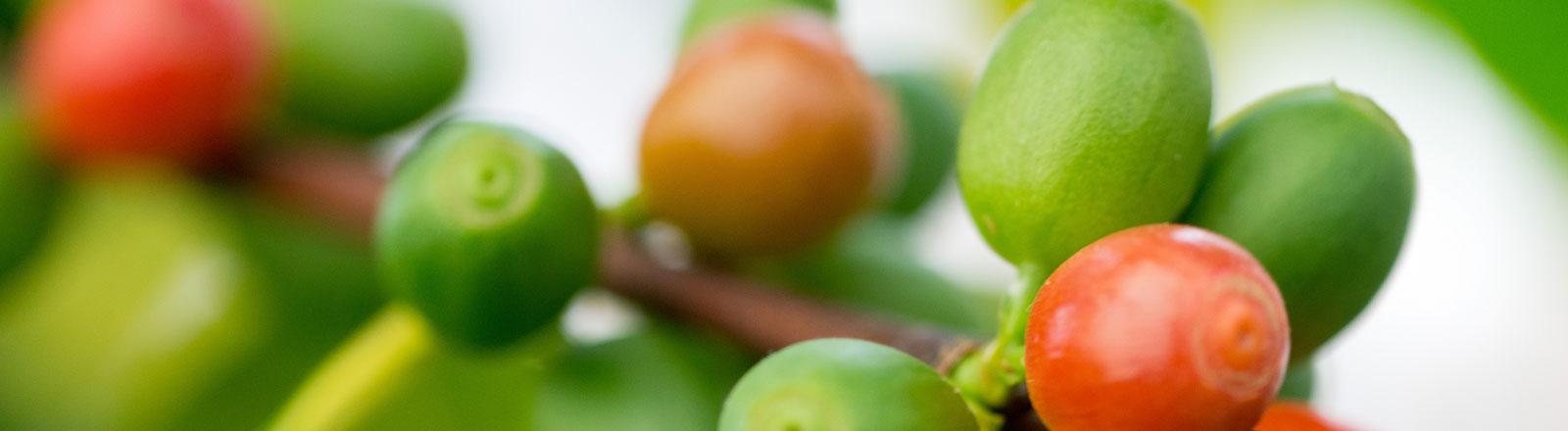 Kirschen der Kaffeepflanze