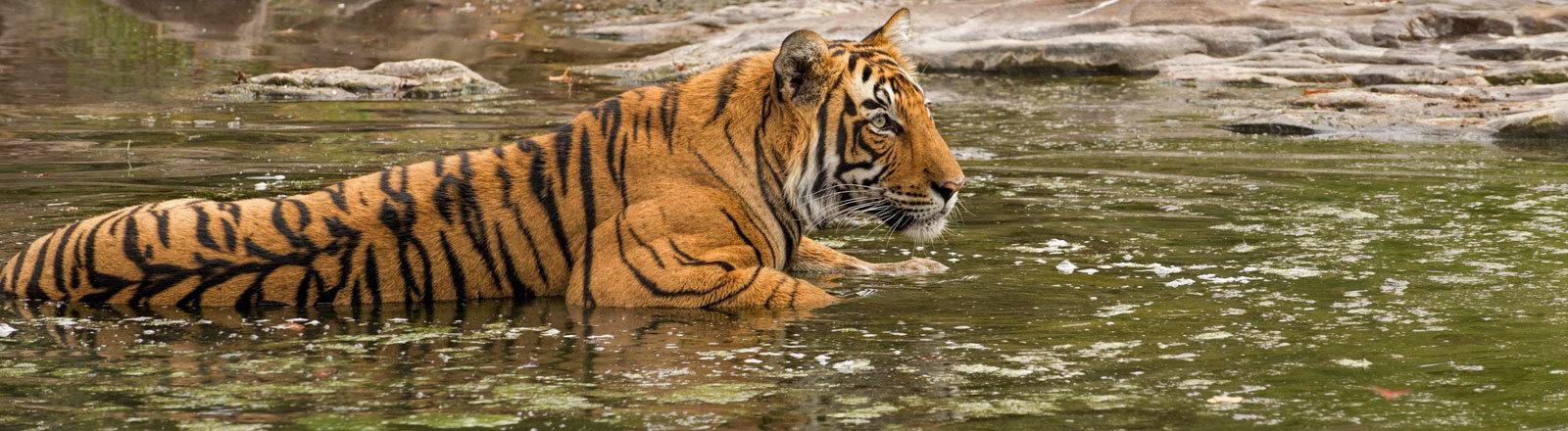 Ein indischer Königstiger, dessen Art vom Aussterben bedroht ist.