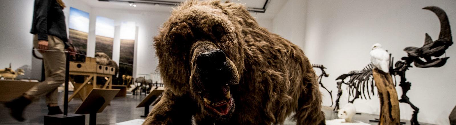 """Eine Komplett-Rekonstruktion eines Höhlenbären (lebte vor ca. 20.000 Jahren) steht in der Ausstellung """"Eiszeit-Safari"""". Das Museum Wiesbaden zeigt vom 7. Oktober 2018 bis 21. April 2019"""