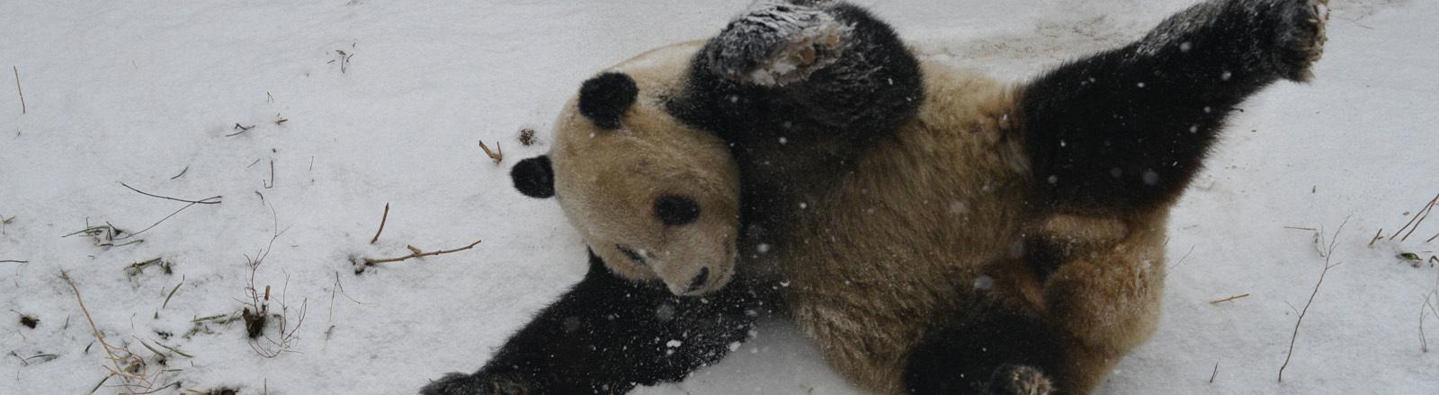 Ein Panda wälzt sich im Schnee.
