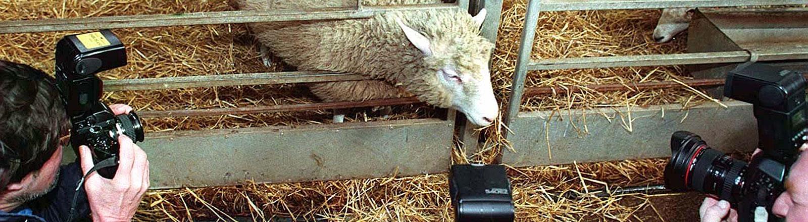 Das geklonte Schaf Dolly wird von Fotografen belagert, Bild: dpa