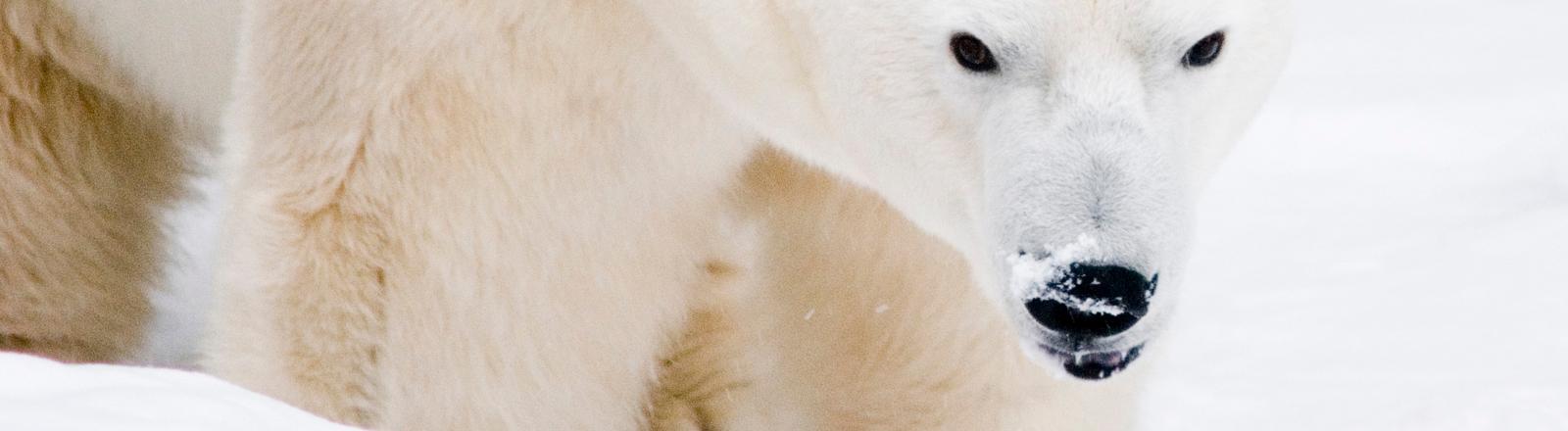 Eisbär in Arktis.