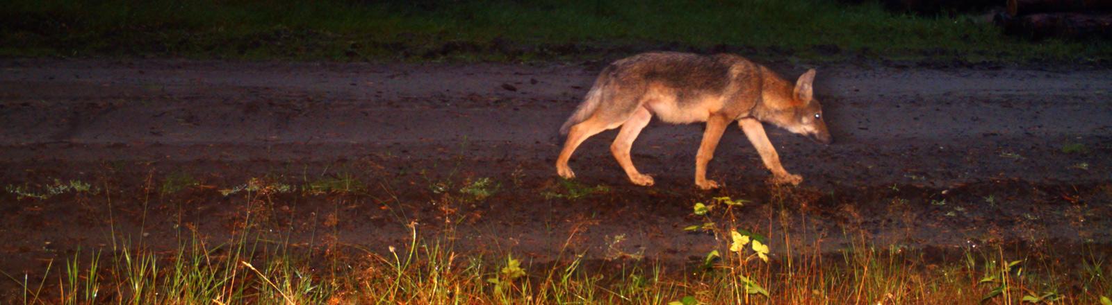 Ein Wolf wird tappt in eine Fotofalle im Wald.