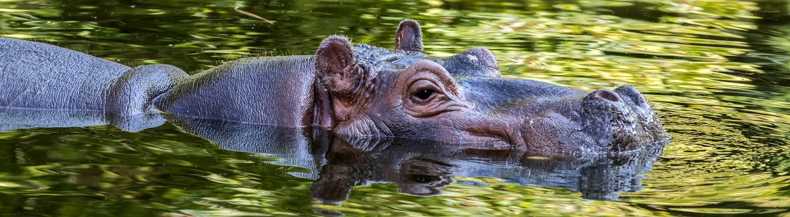 Nilpferd im Zoo Antwerpen