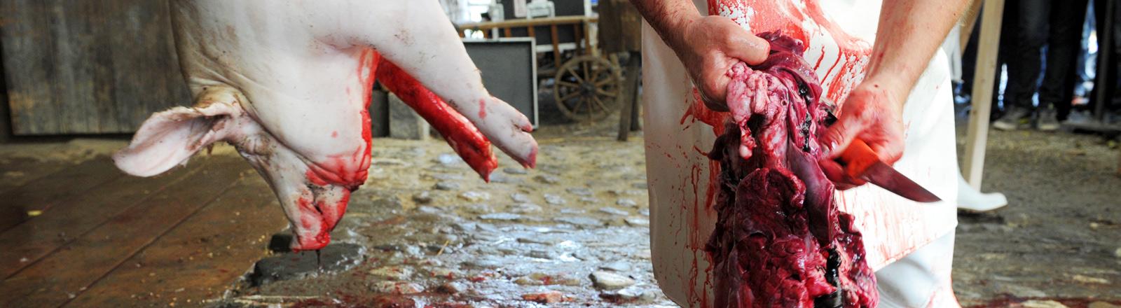 traditionelle Hofschlachtung eines Schweins