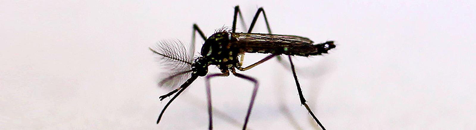 Zika-Mücke