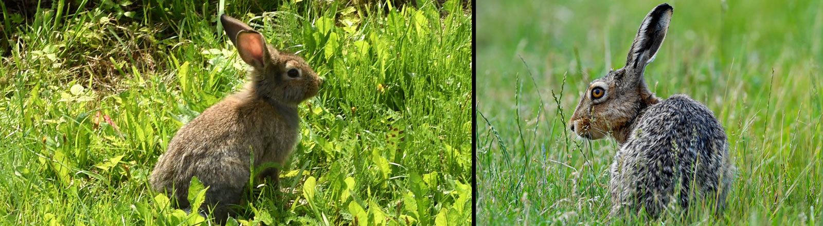Wildkaninchen und Feldhase