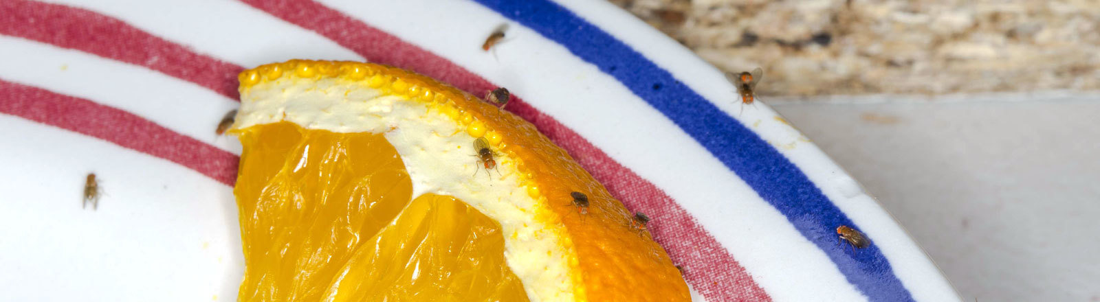 Fruchtfliege auf Orange