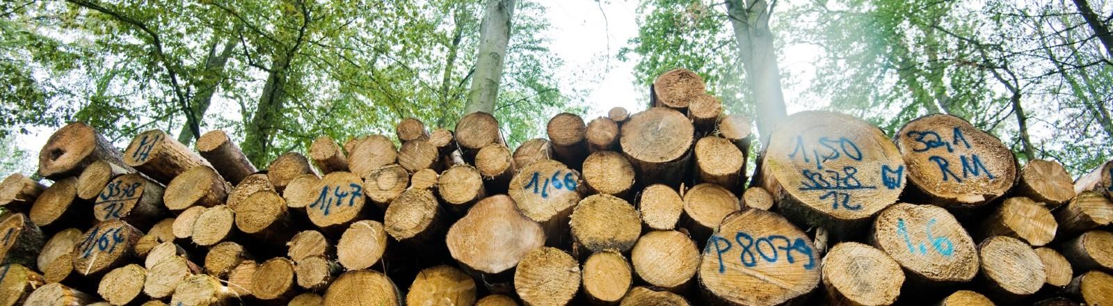 Abgeholzte Buchen in einem Wald. Folge der Dürre.