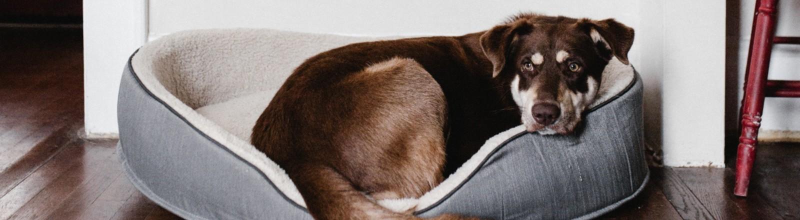 Ein Hund liegt im Körbchen und guckt traurig.