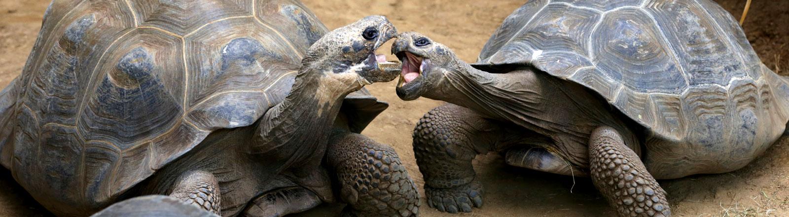 Riesenschildkröten von den Galapagosinseln küssen sich.