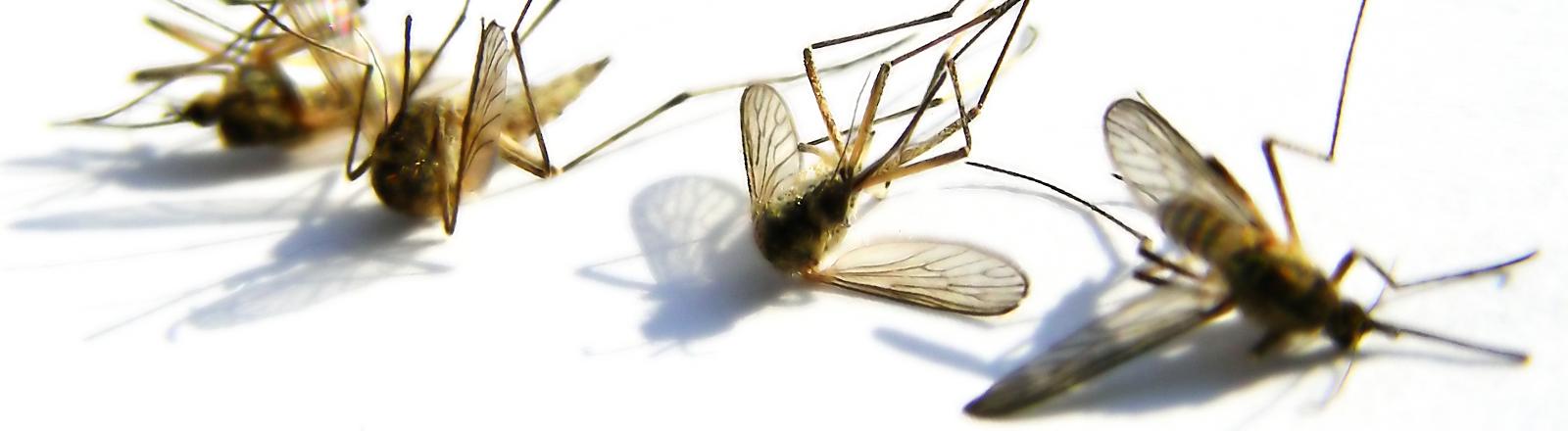 Tote Mücken.