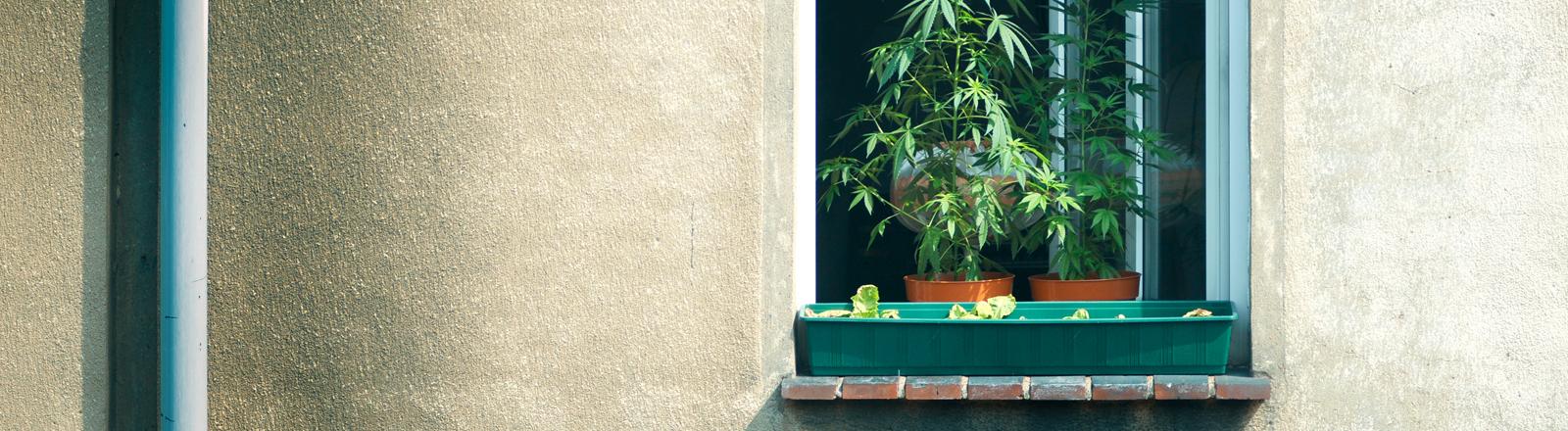 Cannabisanbau auf der Fensterbank.