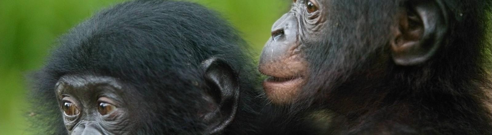 Zwei junge Bonobos in einem Park in der Demokratischen Republik Kongo.