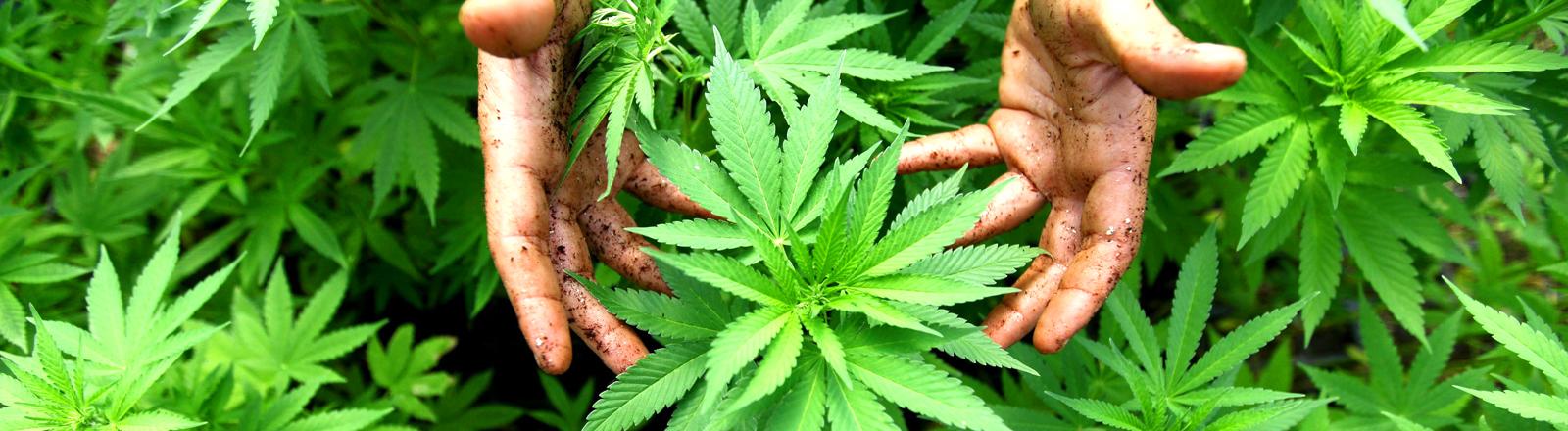 Hände greifen nach Hanfpflanzen. dpa