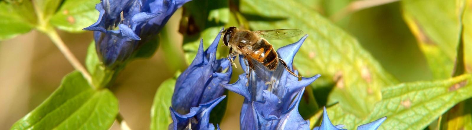 Biene bestäubt blaue Blume.