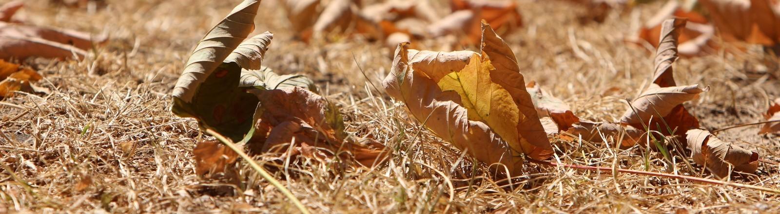 Vertrocknete Blätter liegen auf einer ausgedörrten Wiese.