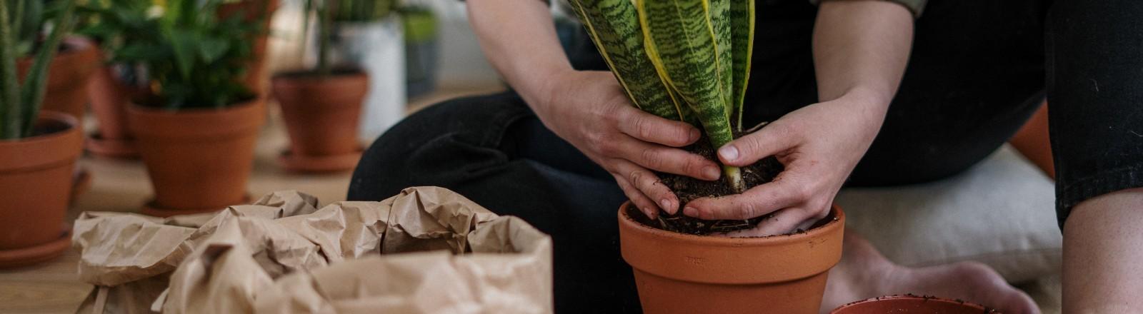 Eine Frau topft ihre Zimmerpflanze um.