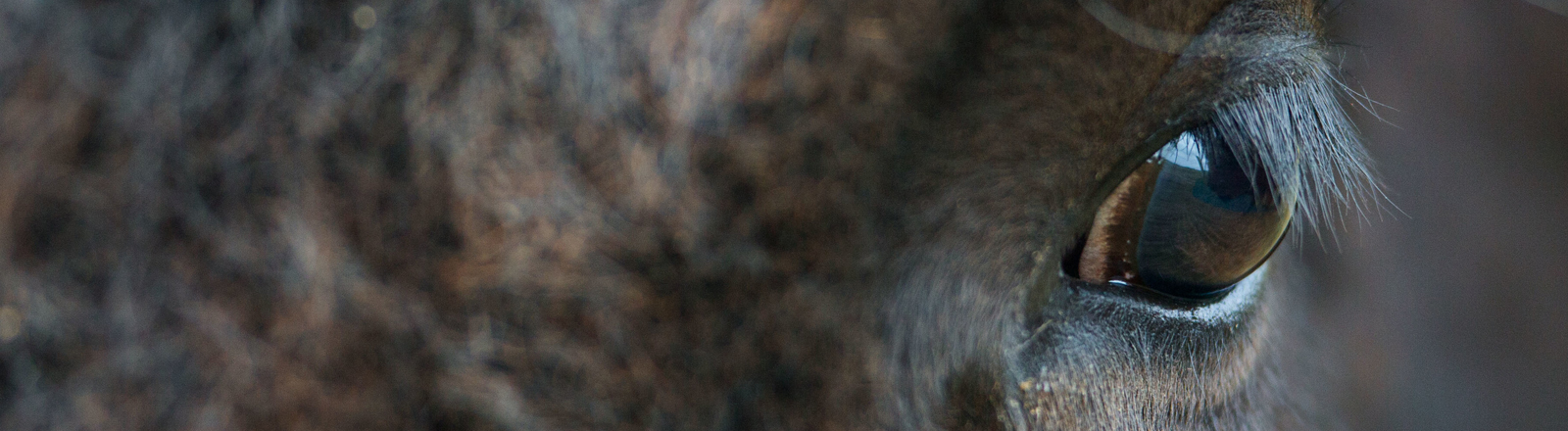 Portraitaufnahme eines Bisons, Detail