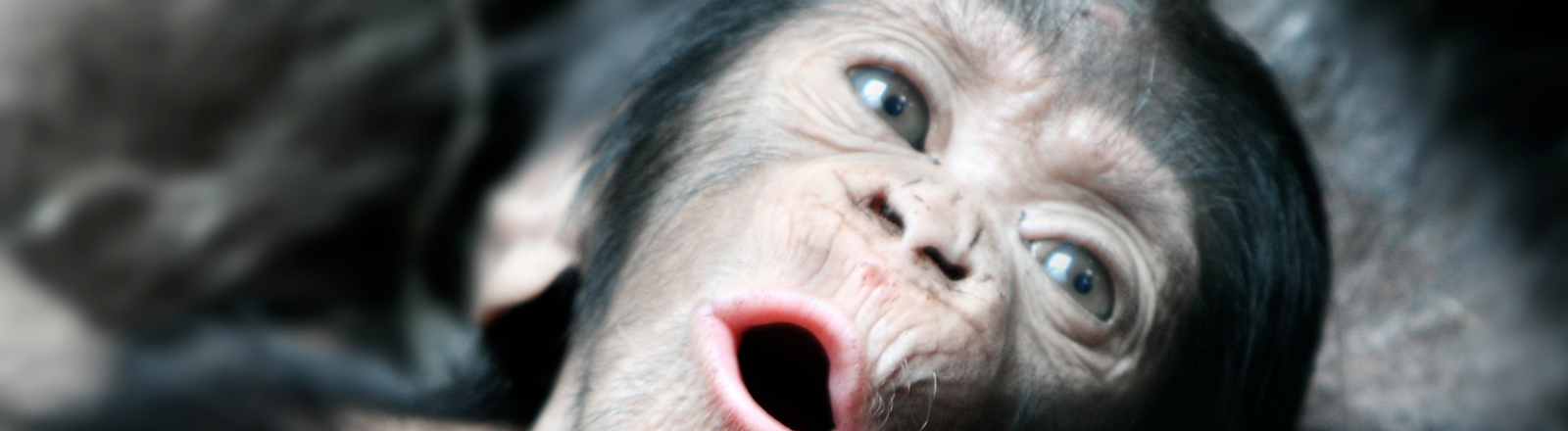 Ein Schimpanse mit offenem Mund