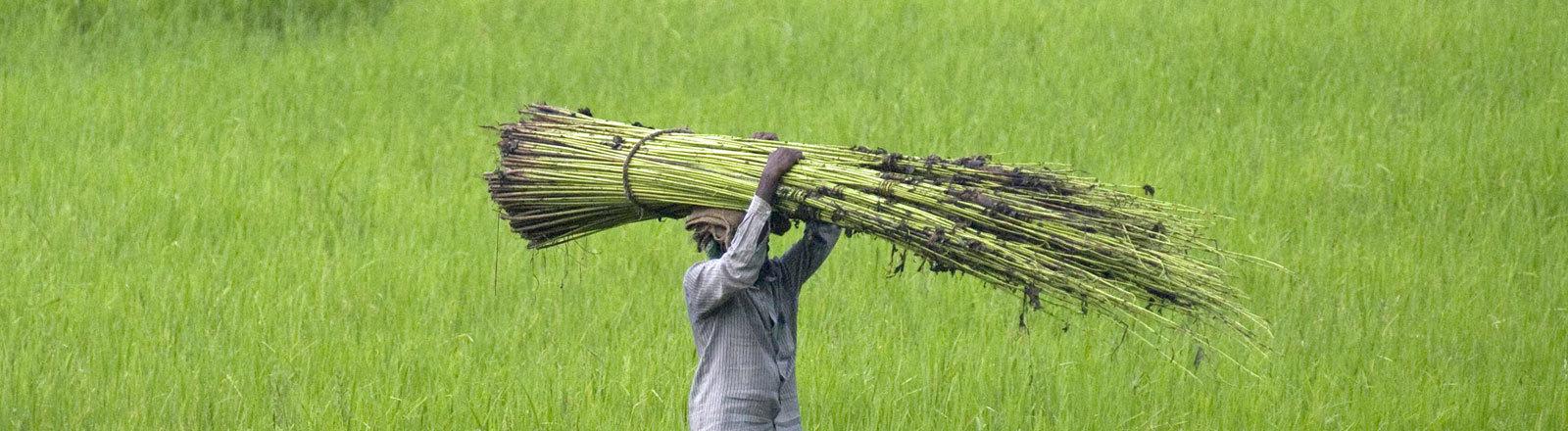 Jutepflanze in Bangladesch