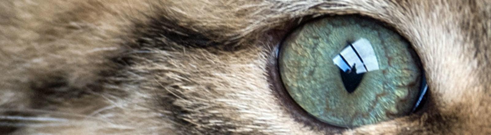 Auge einer Wildkatze