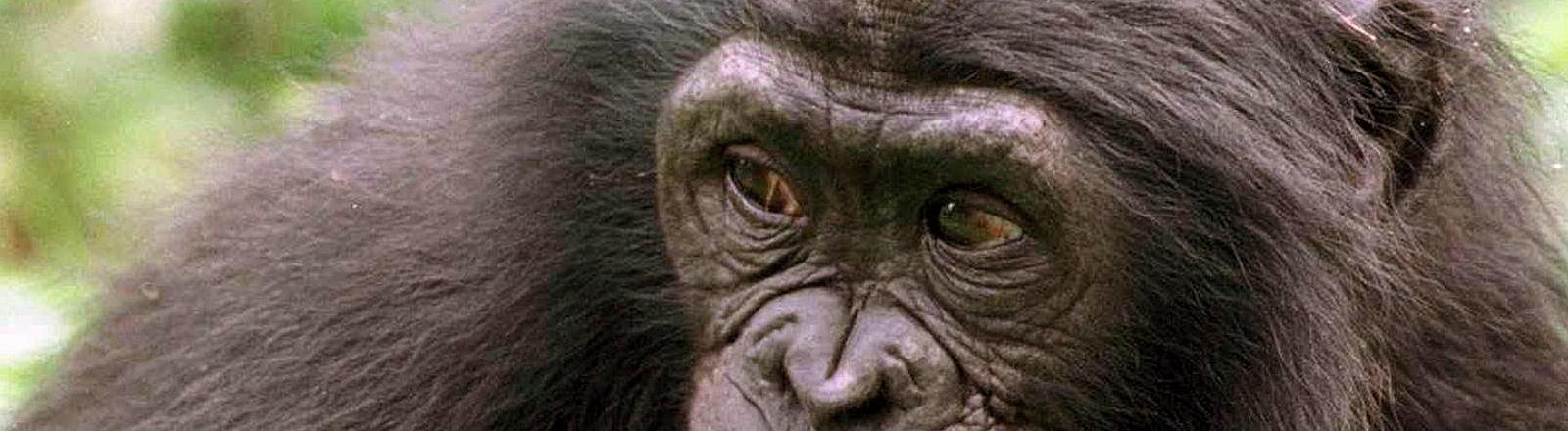 Ein Bonobo-Affe (Pan paniscus), aufgenommen am 21.5.2000 im Bonobo-Schutzgebiet bei Kinshasa.