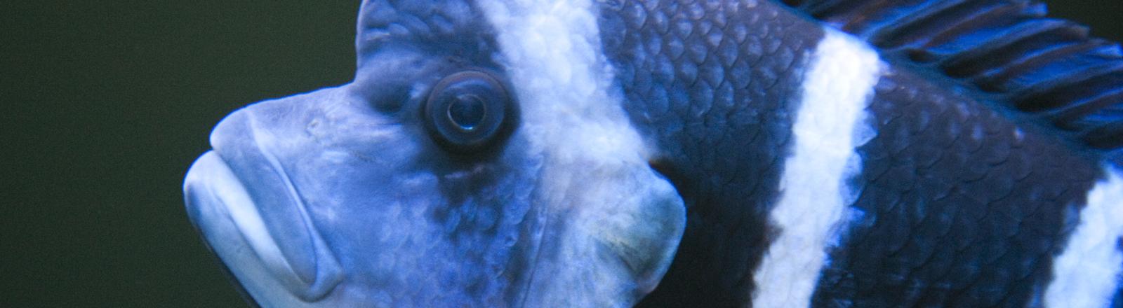 Ein Tanganjika-Beulenkopf-Buntbarsch schwimmt am Freitag (03.02.2012) im Zoo-Aquarium in Berlin.